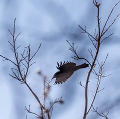 In Flight (vernonbone) Tags: birds nikon sigma 500mm eastpoint d3200 april2016