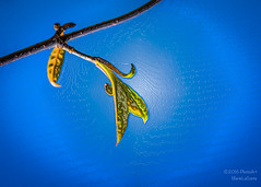 Bud on Blue (PhotoArtMarie) Tags: blue sky branch bud creativeedit
