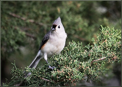 Titmouse (mylens) Tags: bird nature outside spring wings backyard wildlife feathers tuftedtitmouse perchingbird canon7d
