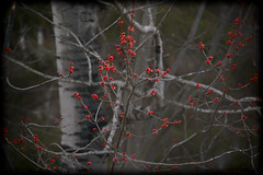 Early Morning Colour (Lindaw9) Tags: morning red tree early spring maple poplar branches april buds