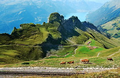 view from Brienzer Rothorn (welenna) Tags: blue summer sky mountain mountains alps animals landscape switzerland see tiere kuh cow view brienzersee berge alpen berneroberland brienzrothornbahn brienzerrothorn schwitzerland