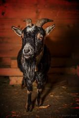 My friend (FAM Martin Z) Tags: light portrait animal speed soft box dwarf flash goat blitz stable soften sharpness animalphotography speedbox canon5dsr 5dsr