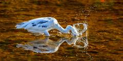 Splash Dive (craig goettsch - out shooting) Tags: bird nature water fishing nikon wildlife sanibelisland juvenile avian stopaction littleblueheron d610 600mm baileytract