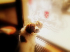 ok, i'm ready to go now... (Bambola 2012) Tags: dog pet primavera window cane bar spring pub frida indoor birddog bitch ready spaniel pas vetrina cagnolina brittanyspaniel prozor proljee pronta izlog kafi ljubimac canedacaccia kujica ptiar spremna lovakipas