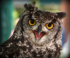 """Ha! That fooled you!"" (SteveJM2009) Tags: uk colour dill eyes focus dof character beak owl april salisbury wiltshire plumage stevemaskell 2016 wilts buboafricanus africanspottedeagleowl naturethroughthelens swanrescuesanctuary"