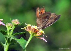 DSC_0659 (rachidH) Tags: nepal nature butterflies insects lantana lakephewa pokhara papillons peacockpansybutterfly junioniaalmana rachidh