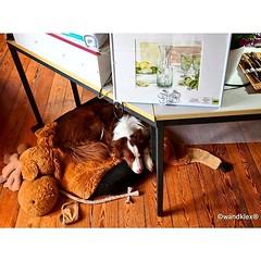 Na, seid Ihr auch in so... (wandklex Ingrid Heuser freischaffende Knstlerin) Tags: dog art watercolor kunst border h hund watercolour bordercollie etsy aussie australianshepherd watercolours aquarell malerei herdingdog doglover doglove herdingdogs australienshepard etsyseller etsyfinds etsygifts wandklex dogsofinstagram uploaded:by=flickstagram aussiesofinstagram bordercolliesofinstagram instagram:venuename=bahnhofratzeburg instagram:venue=51075171 hahnem instagram:photo=12375885274570453511487357881 unseretsy