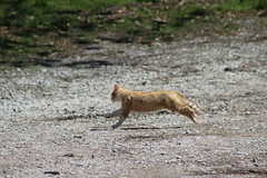 It was disturbed (rfulton) Tags: cats animals felines