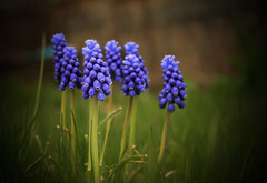 First sign of spring in Toronto (Ali Parandeh) Tags: flowers blue color macro green grass canon 70d 1585mm
