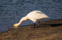 Swan drinking (Cygnus cygnus) / lft (thorrisig) Tags: bird birds island iceland swan swans cy sland orri thorri dorres cygnuscygnus grtta dr fuglar lft icelandicnature bakkatjrn icelandicbirds sigurgeirsson orfinnur thorfinnur thorrisig orrisig thorfinnursigurgeirsson orfinnursigurgeirsson slenskirfuglar sigurgeirssonorfinnur 14042016