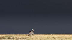 Zebra (KerryBluett) Tags: africa canon kenya safari zebra mammals masaimara 5dmkiii kenyanbirds maranorthconservancy 300f28mkii