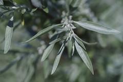 DSC08589 (gabriella.lavati) Tags: wild macro nature bokeh sony mc m42 manual manualfocus 50mmf28 a7ii volna9 sonyalpha mflens macrodreams