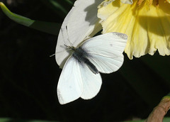 Cabbage White butterfly (bug-in-my-eye) Tags: insects lepidoptera pieridae