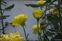 Yellow Roses IZE_15670 (Zachi Evenor) Tags: flowers roses flower rose garden israel gardening april mygarden    2016 rosea            zachievenor