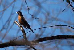Robin (Mackoto) Tags: orange tree bird robin nikon wildlife sigma70300mm d7200