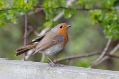 untitled (robwiddowson) Tags: bird nature robin birds animal animals photography photo image wildlife picture photograph robertwiddowson