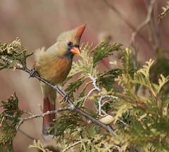 Cardinal (F)   ...   Scarborough, Ontario (kearneyjoe) Tags: