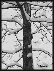Going out on a limb (bankst) Tags: snow tree nature outdoors seasons snowstorm walnuts treelimbs walnuttree