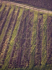 Green Ray (bernawy hugues kossi huo) Tags: france green ray vert alsace vin grn rayon rhein vigne elsass wein trauben vinery gewrztraminer strahl hautrhin strahlen grneisen niedermorschwihr gewrzt