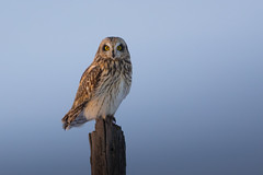 Last light (Peter Stahl Photography) Tags: winter sunset snow owl albera shortearedowl shortear