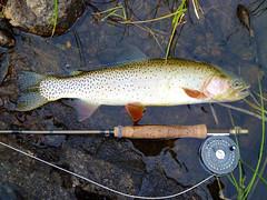 P1000577 (1).jpg (Upstate Dave) Tags: activity cutbowtrout fish fishing fitzpatrickwilderness flyfishing horseshoelake majorplaces shoshonenationalforest trout windriverrange yellowstone 2013
