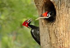Pica-pau-de-topete-vermelho | Crimson-crested Woodpecker (Campephilus melanoleucos) (http://rgamboias.birdsby.me/ on vacation) Tags: brazil birds brasil fauna aves uccelli woodpeckers pantanal oiseaux vidaselvagem carpinteros picidae piciforme campephilusmelanoleucos crimsoncrestedwoodpecker picapaudegargantapreta picapaus picapaudetopetevermelho pjaroscarpinteros rosagambias estradaparquepantanal buracodaspiranhas picamaderosbarbinegro carpinteromarcial passodolontraparquehotel phloeoceastesmelanoleucos