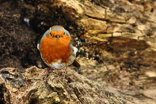 Robin - Lackford Lakes - Explored :-)