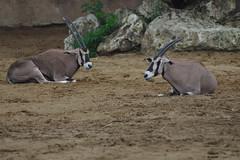 Beisas, Zoo de La Palmyre (Arnold Metselaar) Tags: france zoo antilope dierentuin zoodelapalmyre fietsvakantie zoogdier oryxbeisa beisa eastafricanoryx oostafrikaansespiesbok