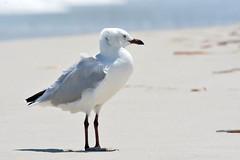 Seagull keeping cool (jeans_Photos) Tags: seagull silvergull pinnaroobeach beachpinnaroopointjean