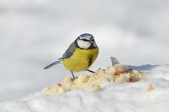 Bird (sylvette.T) Tags: blue winter white snow bird nature yellow bread pain hiver neige oiseau 2016 mésangebleue sigma120300 nikond5100