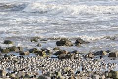 Dunlin (Keith Grafton) Tags: birds dunlin