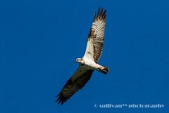 IMG_2558 (sullivan) Tags: nature animal taiwan sullivan  osprey    ef300mmf4lisusm   canoneos7d   newtaipeicity    adobephotoshoplightroom5 suhaocheng