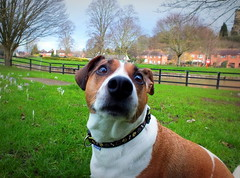 Feb walking (5) (Droitwich Dwellers) Tags: dog jrt jackrussell wtf february omg droitwich droitwichspa vinespark