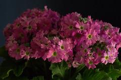 Flowers (nak.viognier) Tags: flower   leicadgmacroelmarit45mmf28 olympusepl3