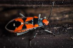 Genevieve_Leonard_MeridianImaging_RedBeetle (meridianimaging) Tags: red macro bug insect beetle australia insects bugs perth westernaustralia invertebrates banded macrophotography seedeating meridianimaging