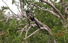 Groove-billed Ani (jd.willson) Tags: nature birds rio grande texas wildlife south birding valley vista groove laguna jd ani rare willson billed groovebilled jdwillson