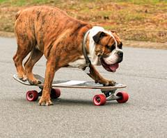 Ride 'em Cowboy (Yer Photo Xpression) Tags: dog pet bulldog skateboard oldenglishbulldog canonef35350mmf3556lusm canoneos40d ronmayhew
