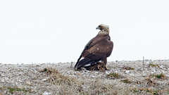 Golden Eagle by Steve Gifford (Steve Gifford - IN) Tags: county bird nature cane golden photo eagle wildlife steve picture indiana ridge management photograph raptor area steven immature society gibson juvenile audubon gifford ias haubstadt