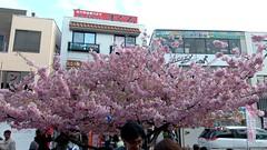 #7158 Kawazu-zakura () at station (Nemo's great uncle) Tags: cherry  cherryblossom sakura prunus miura  cherryblossomfestival   miurakaigan  kawazuzakura   kanagawaprefecture  prunuslannesiana lannesiana prunuslannesianawilscvkawazuzakura