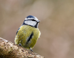 Blue Tit (ABPhotosUK (Thanks for 600 followers)) Tags: birds animals canon garden tits wildlife devon nocrop dartmoor bluetit biggardenbirdwatch eos7dmarkii
