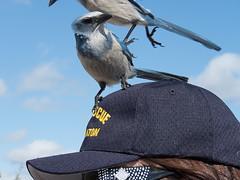IMG_3512 (Bill Jelen) Tags: birding scrubjay rockledge