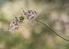 melanargia lachesis (ALQVIMIA) Tags: butterfly olympus galicia papillon mariposa orense nymphalidae ibrica melanargia primotar lachesis medioluto