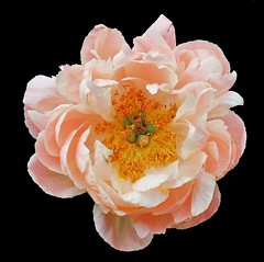 thing of beauty (thiajmarie) Tags: flower peony bloom apricot