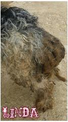 Linda 4 (santuariolacandela) Tags: españa spain linda femaledog adoption mestiza hembra fosterhome acogida adopción cabezalavaca santuariolacandela