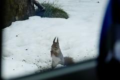 Punaorav (Tarmo Gede) Tags: sciurusvulgaris orav eurasianredsquirrel punaorav