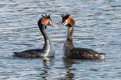 Great Crested Grebe Feb 2016 (69) (jgsnow) Tags: waterbird grebe bonding greatcrestedgrebe