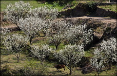 Spring (mala singh) Tags: trees india shimla spring blossom plum orchard himachal