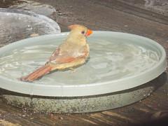 00blogpicDSCN2160 (CarverS2) Tags: ice birds cardinal