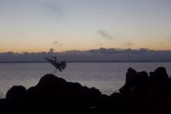 here she comes (rod amaru) Tags: brazil costa brasil clouds sunrise canon coast rocks seagull horizon flight lagoon nuvens lagoa tapes rs riograndedosul pedras gara horizonte vo nascerdosol 6d 2470mm lagoadospatos costadoce