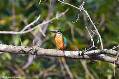Martin pescatore _026 (Rolando CRINITI) Tags: bird natura uccelli uccello arenzano ornitologia martinpescatore